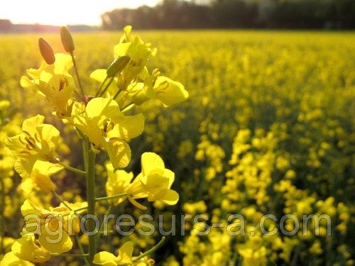 Технология выращивания рапса озимого — Пропозиция | 375x500